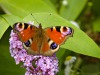Tagpfauenauge auf Schmetterslingsflieder