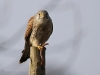 Falke mit Regenwurm