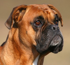 Titus der Boxer