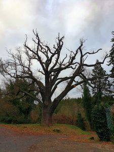 1000-jährige Eiche Burgfey